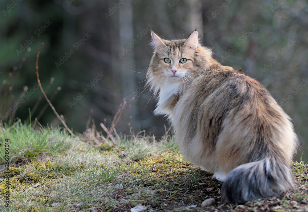 Fototapety, obrazy: Norwegian forest cat outdoors in forest