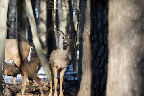 Foto op Plexiglas Ree White-tailed deer (Odocoileus virginianus) also knows as Virginia deer - Hind in winter forest.Wild nature scene from Wisconsin