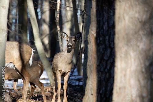 Spoed Fotobehang Ree White-tailed deer (Odocoileus virginianus) also knows as Virginia deer - Hind in winter forest.Wild nature scene from Wisconsin
