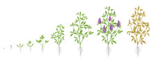 Growth Stages Of Alfalfa Plant...