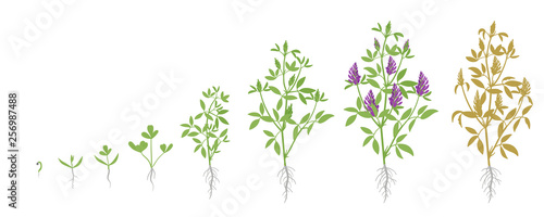 Growth stages of Alfalfa plant Canvas Print
