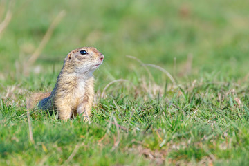 Naklejka na ściany i meble European ground squirrel, Souslik (Spermophilus citellus) natural environment