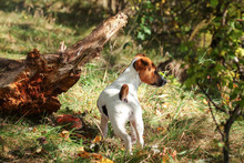 Jack Russell Terrier In Forest...