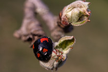 Black Ladybug With Red Details On A Branch With Small Bud In Spring