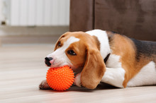 Cute Five Month Old Beagle Puppy Chewing Spiky Ball Dog Toy Indoor