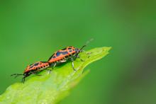 Stinkbug Mating On Green Leaf