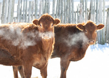 Some Cows Standing In A Snowy Farm Field With Their Cold Breath In The Air