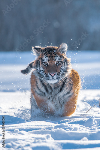Siberian Tiger running in snow. Beautiful, dynamic and powerful photo of this majestic animal. Set in environment typical for this amazing animal. Birches and meadows Wall mural