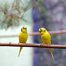 Two Yellow Song Birds