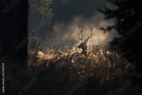 Photo  Red deer stag in the mornig autumn mist