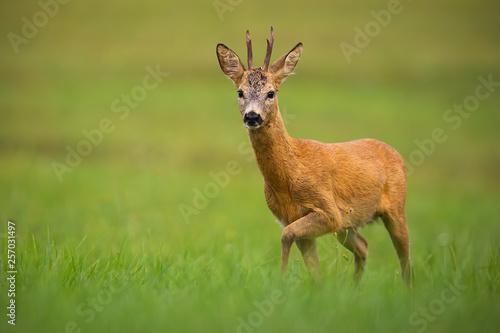 Roe deer, capreolus capreolus, buck in summer Fototapeta