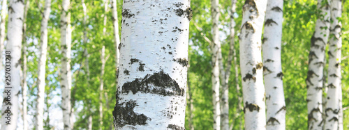 Young birch with black and white birch bark in spring in birch grove against the background of other birches - 257033238