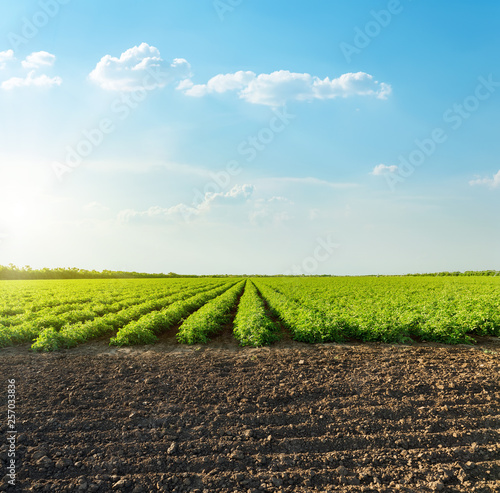 Fototapeta good sunset with clouds over agricultural green field with tomatoes obraz