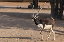 A Blackbuck Walks Along In The Evening Sunset Showing Off Its Horns.
