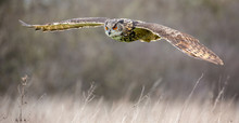 Eurasian Eagle Owl (Bubo Bubo) In Natural Environment