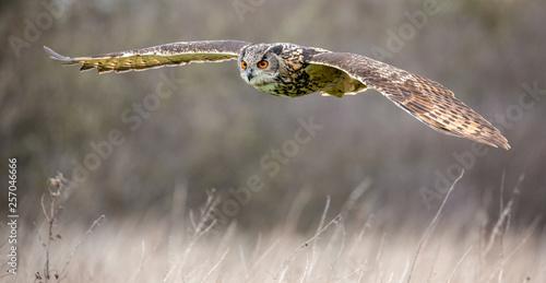 Fotobehang Uil Eurasian Eagle Owl (Bubo bubo) in natural environment