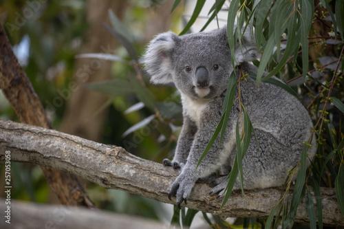 In de dag Koala コアラ,子ども(赤ちゃん)