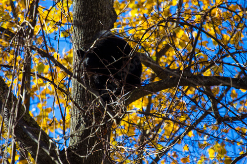Fotografie, Obraz  Black Bear Cub in Tree in Autumn, Shenandoah National Park, Virginia