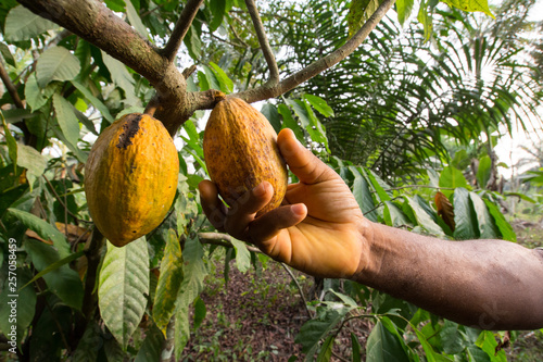 Fotografía A man's hand reaps a ripe cocoa in Kumba, Cameroon, Africa.