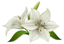 White Lily Flower With Bulb And Green Leaf, Isolated On White. Realistic Vector Illustration For Summer Background, Wedding Design Or Other Nature Greeting Card