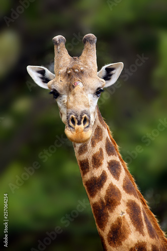 Valokuva  The south african giraffe (Giraffa camelopardalis giraffa) portrait of a male with battered antlers as a result of a fight