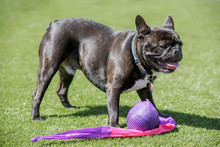 Black Brindle White Frenchie Male Standing Over His Toy. Off-leash Dog Park In Northern California.