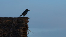 Black Crow, Corvus Corone, Common Crow Sitting On A Wood Beach House At The Beach Looking At The Ocean