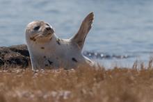 Seal Resting In Spring Sunshin...