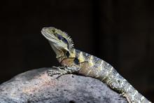 Eastern Water Dragon (Intellag...