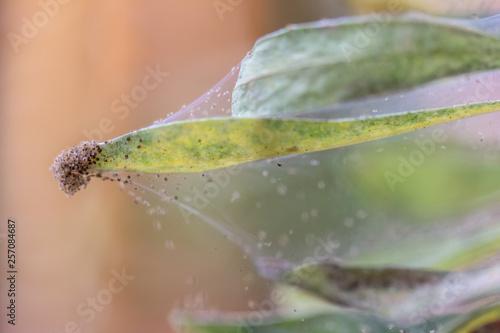 viele Spinnmilben auf einer Zimmerpflanze Fototapet