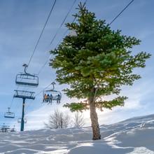 Coniferous Tree And Ski Lifts At Utah Ski Resort