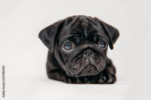 Fototapeta Adorable pug puppies obraz na płótnie