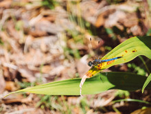 Dragonfly Is Resting On Green Leaf