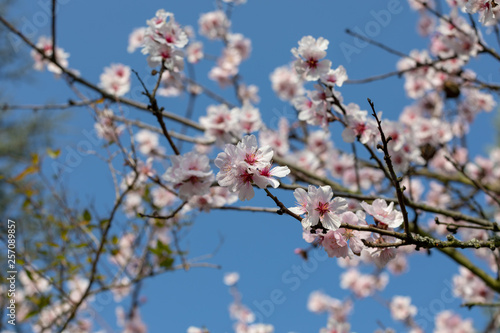 Foto  Beautiful White And Pink Japanese Cherry Blossom Trees In Full Bloom In The Sun