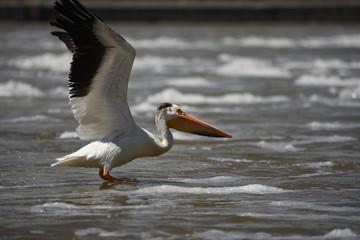 Fototapeta na wymiar pelican in flight