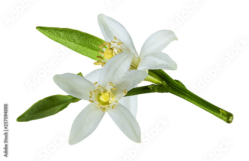 Fresh lemon flower isolated on white background with clipping path - 257094888