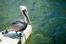 A Single Brown Pelican Looks Down At Large Tarpon Fish Swimming Beneath The Water Surface At A Roadside Dock In The Florida Keys
