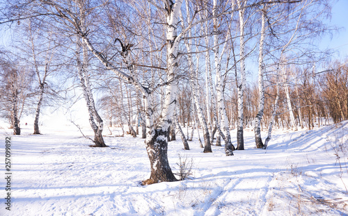 brzoza zimą