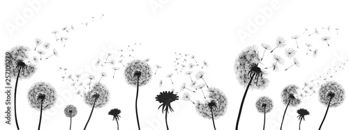 Fotografie, Obraz Abstract black dandelion, dandelion with flying seeds illustration - for stock