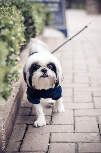 Foto  Cachorro passeando em calçada