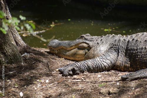 Fotografie, Obraz  crocodile laying in the ground