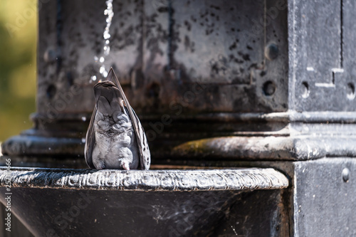 Fototapeta Warsaw, Poland historic sunny summer day morning street water fountain with pigeon bird drinking by stream obraz