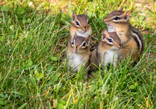 Family Of Four Young Eastern Chipmunks, Tamias Striatus, In Green Grass
