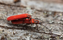 Mating Red Net-winged Beetles,...
