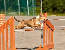 Smooth Collie Jumping Over A Hurdle In Dog Agility Competition. Fun Outdoor Sports Action Ion A Sunny Summer Day In Finland.