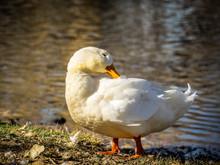 White Duck Preening At The Edg...