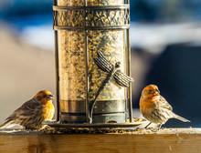 Two House Finches At Birdfeeder