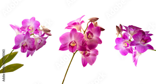 Collection of pink orchid fresh flowers on white background
