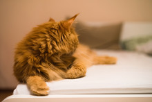 Maine Coon Ginger Cat Turned His Head Away, Lies At The Corner Of Bed
