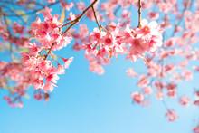 Beautiful Sakura Flower (cherry Blossom) In Spring. Sakura Tree Flower On Blue Sky.